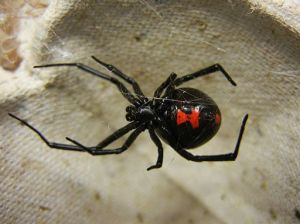512px-Adult_Female_Black_Widow HerjMarway 14 Jan